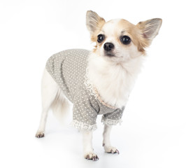 Chihuahua with fashionable dress, pink pearl and manicure