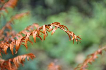 Russet pine needles