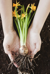 Woman holding daffodil by roots