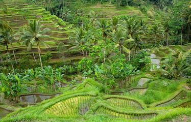 rice terraces of bali, indonesia