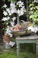 Flowering Clematis and garden tools