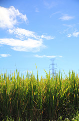 ricefield in summer
