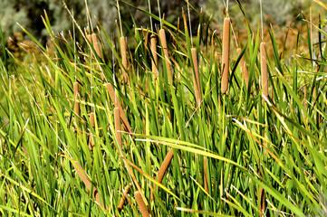 Typha, planta acuática