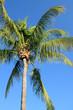 cocotier des tropiques sur fond de ciel bleu