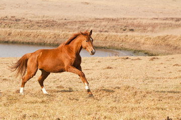 Chestnut horse running near a farm dam
