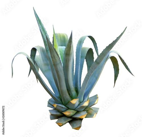 Fotobehang Cactus Agave ornemental taillé