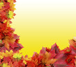 autumn background from maple leaves on yellow background