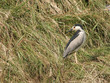 Nycticorax nycticorax (bihoreau gris - night heron)