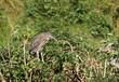 Nycticorax nycticorax (bihoreau gris -night heron) juvenile
