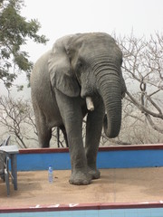 Elephant at the swimming pool