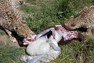 fressende geparden