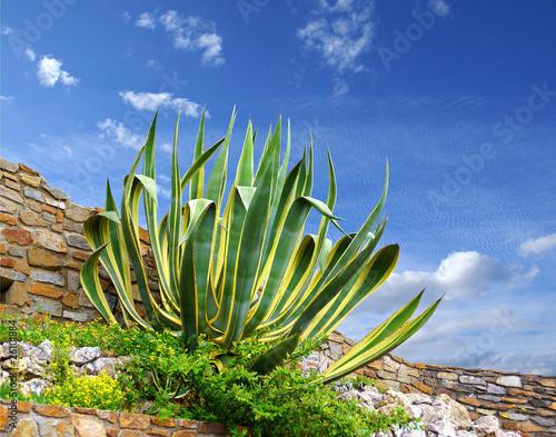 Foto op Canvas Cactus Agave ornemental