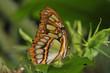 papillon de Guyane, le Siproeta steneles