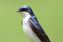 Tree Swallow on a stump
