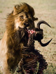 Lion behind a meal.