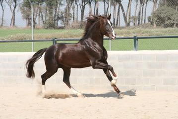 horse Lusitano
