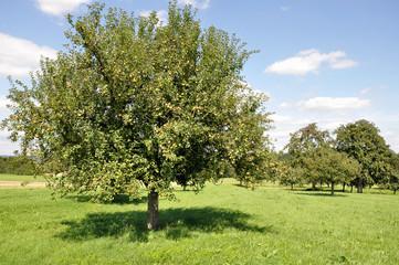baden württenberg, alberi da frutta nei campi #3