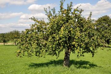 baden württenberg, alberi da frutta nei campi #4