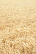 Full frame yellow field of wheat