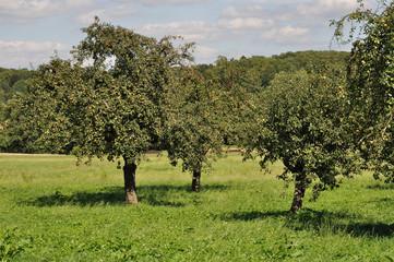 baden württenberg, alberi da frutta nei campi #5