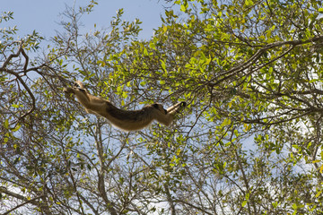 Swinging Howler monkey in pantanal, Brazil