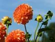 orange Dahlia against blue sky