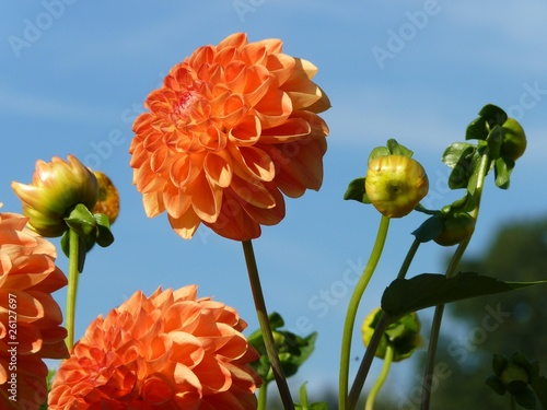 orange Dahlia against blue sky