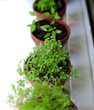 potted herbs on window sill poster