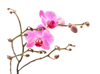 pink stripy phalaenopsis orchid isolated on white,