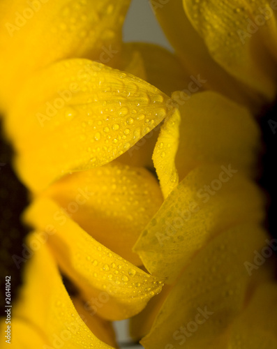 Wet Sunflower Petals