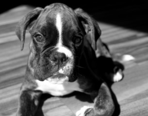 Boxer puppy dog