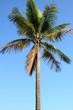 cocotiers des tropiques sur fond de ciel bleu outremer