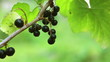 Branch of black currant closeup.