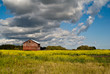A red barn standing in a field of yellow canola flowers