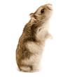 standing hamster