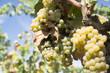 filari d'uva