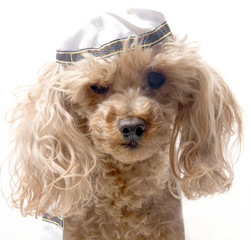 Dog with Yarmulke