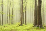 Spring deciduous forest surrounded by mountain mist - 26153680