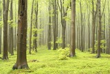 Fototapety Spring beech forest on a foggy morning