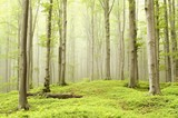 Fairytale beech forest in a nature reserve poster