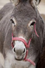 Portuguese donkey
