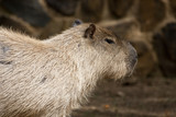 Capybara rodent poster