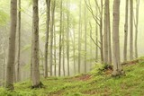 Spring deciduous forest surrounded by mist - 26165828