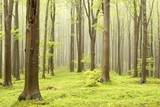Spring fairytale forest with mist moving between the trees poster