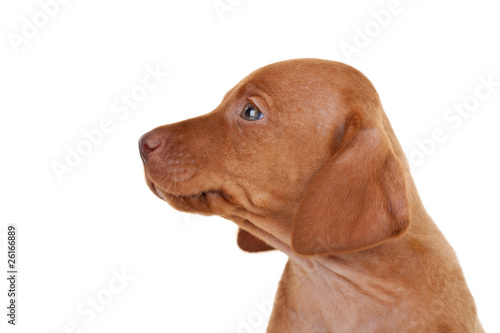 Poster baby vizsla dog