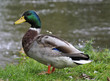 The duck male