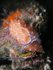 Nacktschnecke Nudibranch halgerda sp