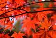 山中湖村のイロハカエデの紅葉