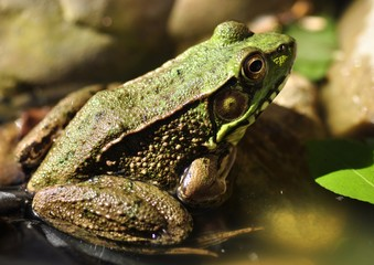 Common water frog close up