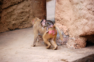 Baboon baby on its mom's back
